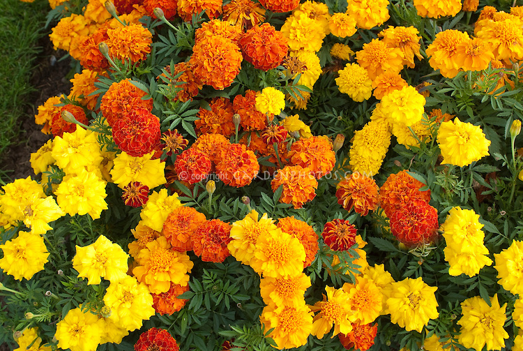 Marigolds mixed variety